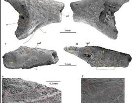 Phát hiện hài cốt 40 triệu năm tuổi của ếch ở Nam Cực