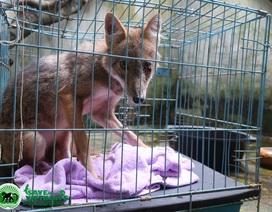 Cứu hộ thành công 2 cá thể chó rừng và sói đỏ