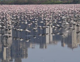 Chim hồng hạc đổ về Mumbai trong thời gian Ấn Độ thực hiện giãn cách xã hội