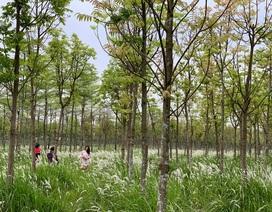 Check-in cánh đồng cỏ tranh đẹp nên thơ ngay phía Đông Hà Nội