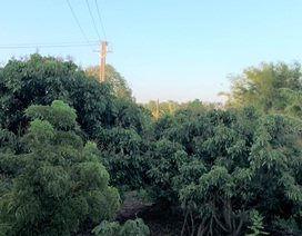 Sóc Trăng: Doanh nghiệp tự trồng trụ điện kéo qua vườn cây ăn trái của dân