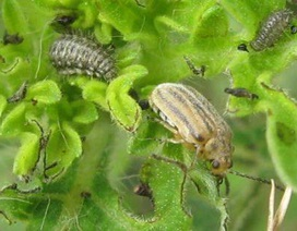 Hàng triệu người không còn bị dị ứng nhờ một loài bọ nhỏ bé