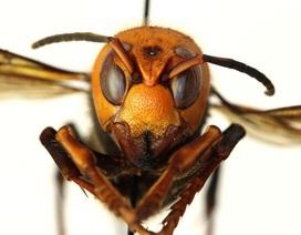 Ong bắp cày sát thủ trở thành mối đe dọa gây chết người mới nhất ở Mỹ