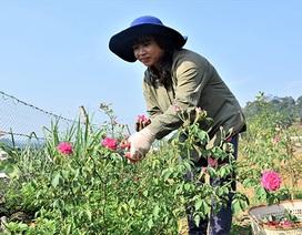 """Quảng Nam: Lên núi trồng vườn hoa hồng """"siêu to khổng lồ"""""""
