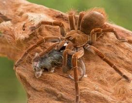 Sở thú New Zealand ấp nở thành công trứng của nhện lông khổng lồ ăn chim