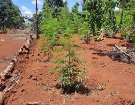 Người đàn ông trồng hơn 1.000 cây cần sa trong rẫy vắng
