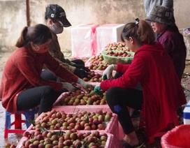 200 thương lái Trung Quốc đổ sang lùng mua vải thiều Việt Nam