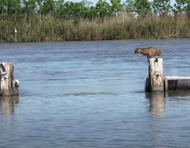 Bước nhảy giữa sông ngoạn mục như vận động viên của linh miêu Mỹ