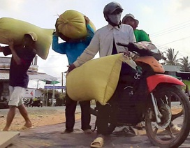 """Nghề """"hot"""" ở Cà Mau: Tải lúa thuê kiếm tiền triệu mỗi ngày"""