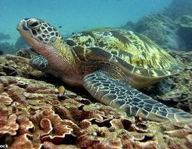 Bác sĩ kéo túi nilon dài 30 cm ra khỏi lỗ huyệt của rùa do ăn nhầm