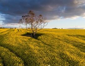"""Khoa học chiến thắng - Cây trồng biến đổi gen được """"bật đèn xanh"""" ở Nam Úc"""