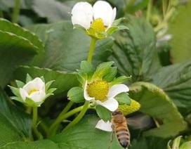 Loài ong có biết đếm không?