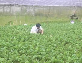Giá rau, hoa Đà Lạt bật tăng sau dịch Covid-19