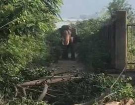 Một nài voi bị voi đực quật tử vong