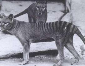 Những hình ảnh cực hiếm cuối cùng của hổ Tasmania