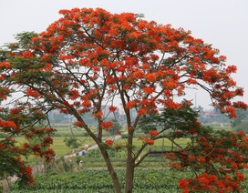 Hoa phượng đỏ rực rỡ khắp Hà Nội