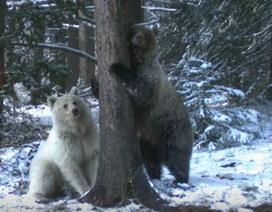 Phát hiện gấu xám trắng cực kỳ hiếm tại Canada