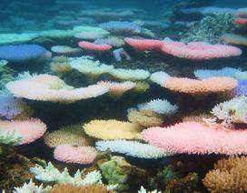 """Vì sao một số rạn san hô đổi nhiều màu khi bị """"căng thẳng""""?"""