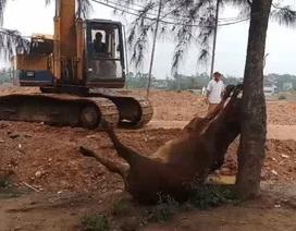 2 người lạ mặt xuất hiện ở bãi chăn bò, 30 phút sau 3 con bò lăn ra chết