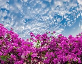 """""""Phát sốt"""" với con đường hoa giấy đẹp quên lối về ngay gần Hà Nội"""