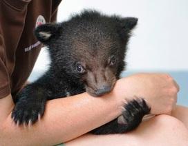 Giải cứu cá thể gấu đen châu Á 2 tháng tuổi bị rao bán