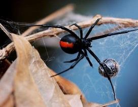"""Suýt tử vong vì muốn có """"siêu năng lực"""" từ… nhện góa phụ đen"""