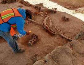 Phát hiện thêm nhiều bộ xương voi ma mút bên dưới sân bay Mexico