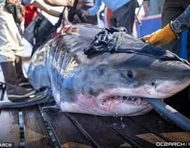 Cá mập nặng gần 1 tấn bơi hơn 1.100 km để trốn tránh việc giao phối