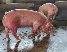 Lợn sống từ Lào, Campuchia đổ về nhiều, lợn hơi trong nước liên tục mất giá