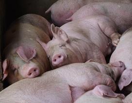Gần 2 triệu con lợn sống Thái Lan đang được nhập về Việt Nam