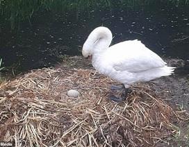Thiên nga mẹ đau khổ đến chết vì trứng bị đập vỡ