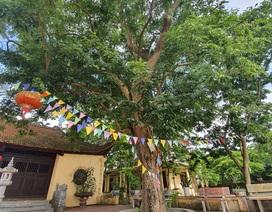Sau cây sưa 24,5 tỷ đồng, làng Đông Cốc lại bán thêm 1 cây sưa tiền tỷ