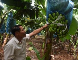 Lão nông thu tiền tỷ nhờ trồng chuối tiêu hồng