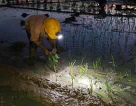 Nông dân Hà Nội đeo đèn pin đi cấy lúc nửa đêm
