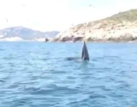 """Cá voi """"khủng"""" nhảy múa kiếm ăn gần bờ biển Cam Ranh"""