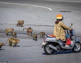 """Ở nơi người dân đang phải """"giành"""" lại thành phố từ... bầy khỉ"""