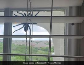 Hoảng hồn phát hiện nhện khổng lồ lơ lửng trên cửa sổ