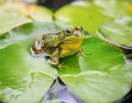"""Bài thơ """"Con ếch điếc"""""""