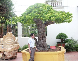 Mãn nhãn với cây khế độc nhất vô nhị có giá 3 tỷ đồng của đại gia Phú Thọ