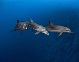 Cá heo biết học cách sử dụng các công cụ từ bạn bè giống như loài vượn lớn