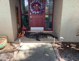 Cá sấu cụt chân chắn ngang cửa nhà gia đình ở Florida