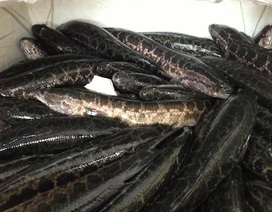 """Hơn 800 kg cá quả Trung Quốc """"quẫy"""" trong xe tải"""