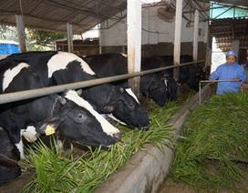 Đầu tư 600 tỷ đồng giúp nông dân nuôi bò chuyên nghiệp