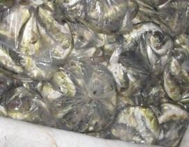 Tiêu hủy cá nóc tránh hiểm họa