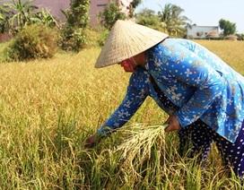 """Nông dân """"mót"""" từng hạt lúa trong mùa hạn, mặn khủng khiếp"""