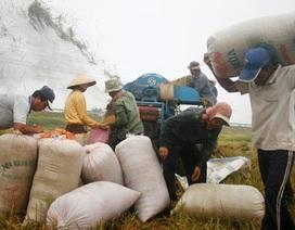 Hạn, mặn khiến giá lúa tăng vọt