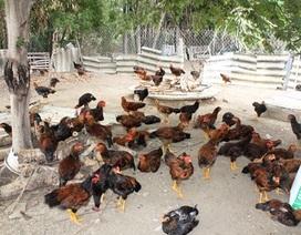 """Thu hàng trăm triệu mỗi năm nhờ nuôi gà """"chạy bộ"""""""