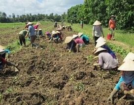 Lãi 300 triệu/ha khoai lang tím Nhật, nông dân tiếc vì không còn hàng để bán