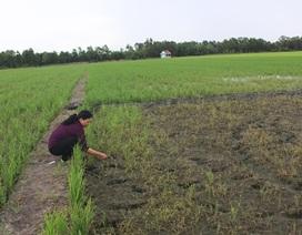 Vụ lúa chết non ở Tiền Giang: Công ty phân bón hỗ trợ nông dân 22 triệu đồng/ha
