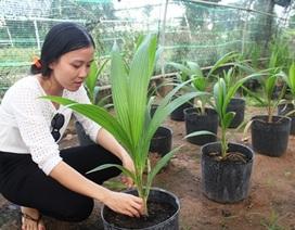 Trồng dừa sáp cấy phôi, cơ hội giúp nông dân làm giàu